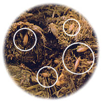 maggots in manure